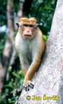 Photo of makak bandar, Macaca sinica, Toque Macaque, Ceylon Hutaffe
