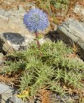 Photo of máčka Echinops spinosissimus  Karpathos