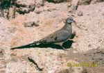 Photo of hrdlička Oena capensis, Namaqua Dove, Kaptaubchen