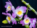 Photo of orchidea Dendrobium