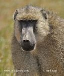 Photo of pavián babuin Papio cynocephalus Yellow Baboon Steppenpavian