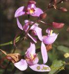 Photo of  orchidea Bletia purpurea Orchidee Orchid