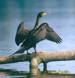 Photo of kormorán velký, Great Cormorant, Kormoran, Phalacrocorax carbo.