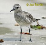 Photo of kul�k bled�, Pluvialis squatarola, Black bellied Plover, Chorlo gris