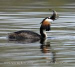 Photo of potápka roháč Podiceps cristatus Great Crested Grebe Haubentaucher