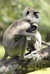 Photo of hulman posvátný, Semnopithecus entellus, Grey Langurs, Hanumanlangur