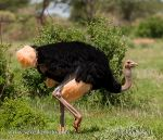 Photo of pštros dvouprstý Struthio camelus Ostrich