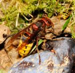 Photo of sršeň obecná Vespa crabro Hornet Hornisse