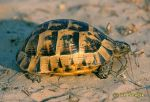 Photo of Testudo graeca.