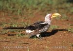 Photo of zoborožec Tockus leucomelas Southern Yellow-billed Hornbill Gelbschnabeltoko