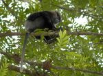 Photo of hulman rudolící Trachypithecus vetulus Purple-faced Langur