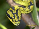 Photo of  ch�est�ovec Trimeresurus trigonocephalus, Green Pit Viper, Lanzenotter