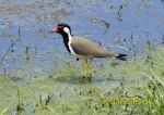 Picture of čejka černoprsá Vanellus indicus Red-wattled Lapwing
