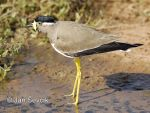 Photo of čejka indická Vanellus malabaricus Yellow-wattled Lapwing