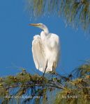 Photo of volavka bílá Egretta alba Great Egret Garzon Blanco Silberreiher